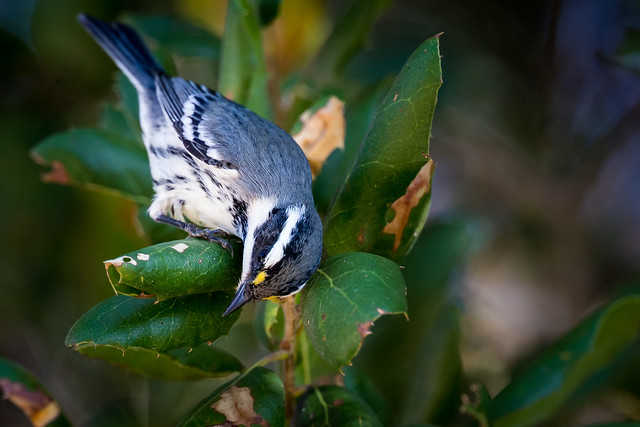Black-throated Gray Warbler  (explored on 10/20/2019)