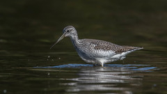 Lesser Yellowlegs  0883