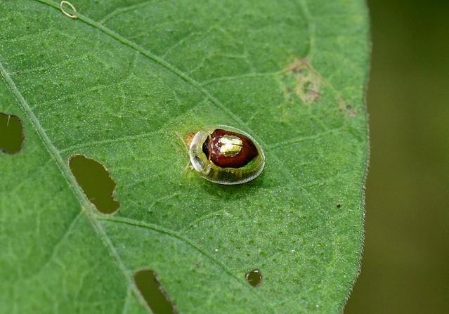 Tortoise Beetle —— Charidotella puella