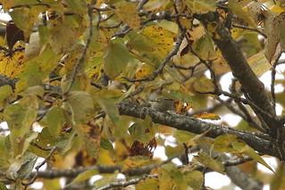 Yellow-browed Warbler!!! - Panama Flats, Victoria BC