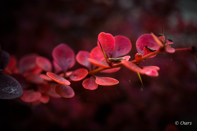 autumn - red barberry