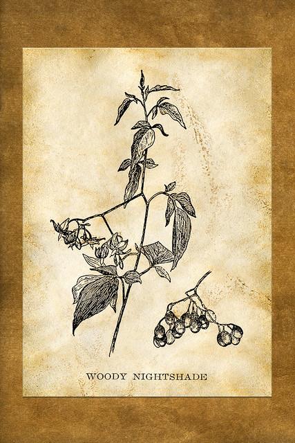 Bittersüßer Nachtschatten / Woody Nightshade ... Botanische Karte mit Kaffee braun eingefärbt
