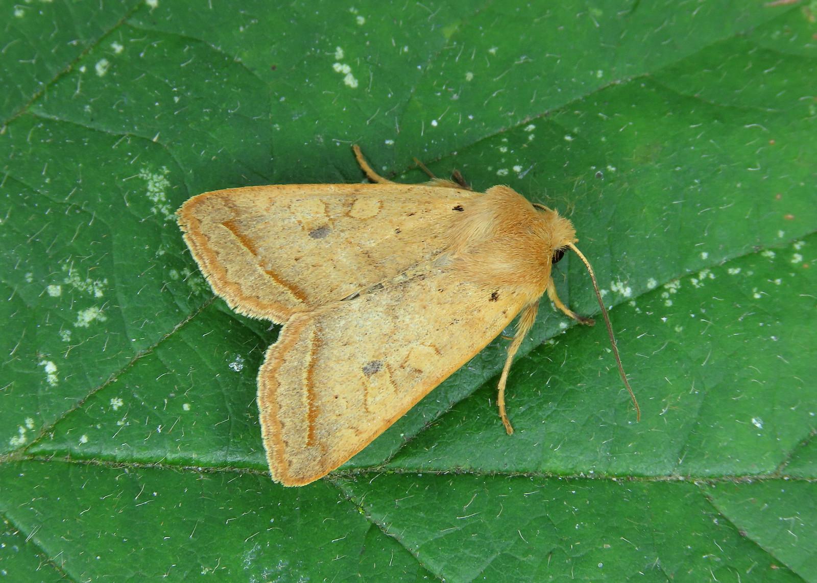 73.190 Yellow-line Quaker - Agrochola macilenta