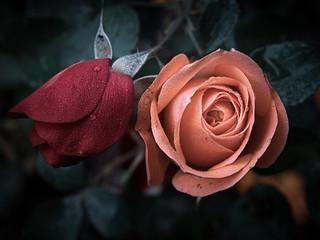 Rosen mi Tau, roses with dew droplets