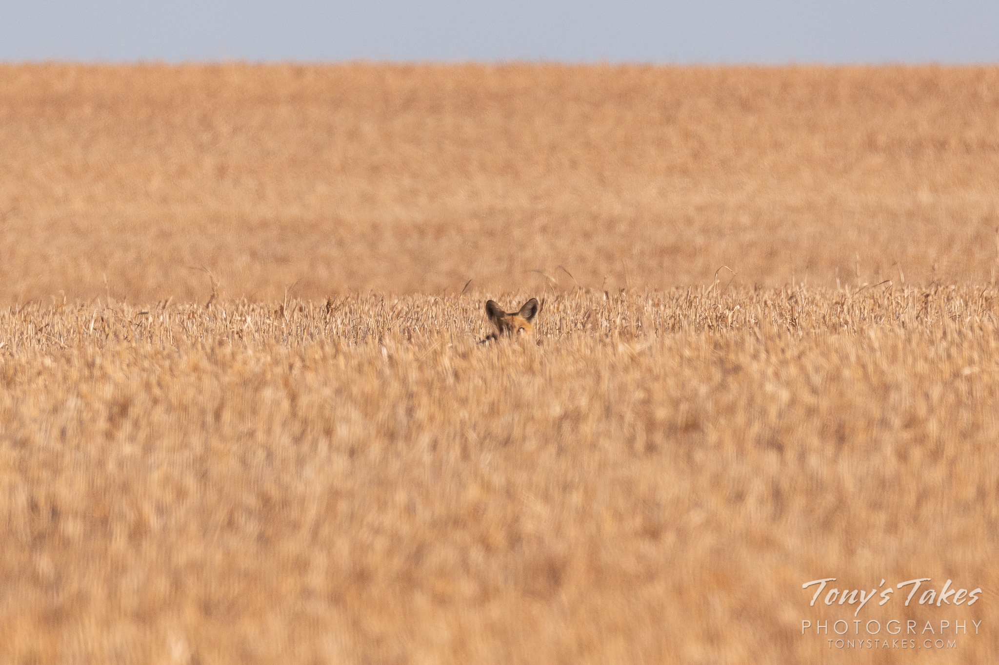 A fox stays well-hidden in a field in eastern Colorado. (© Tony's Takes)