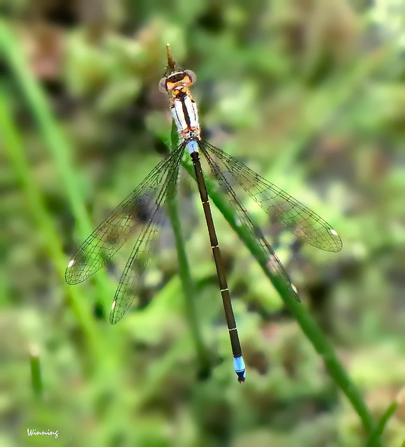 Pacific Forktail Damselfly 0146