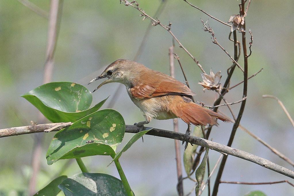 Rusty backed Spinetail-Cranioleuca vulpina