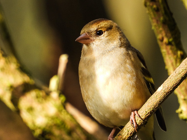 Female Chaffinch Portrait