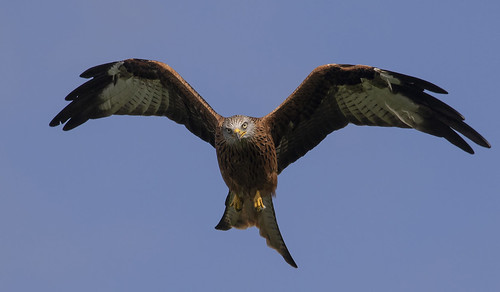 redkite raptor sky looking beautiful wildlife wild nature shot