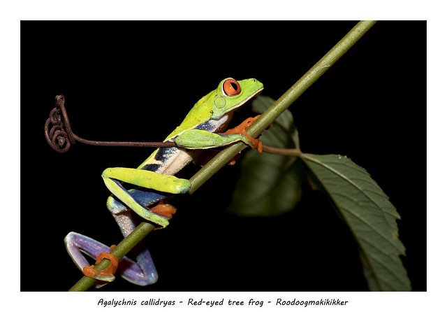 Red-eyed tree frog #4