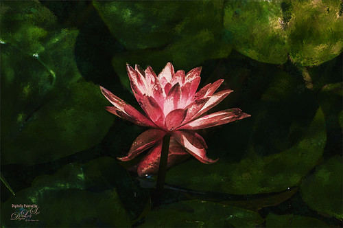 Image of a pink water lily at the National Zoo in Washington, DC