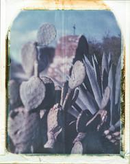 San Miguel Cactus 01
