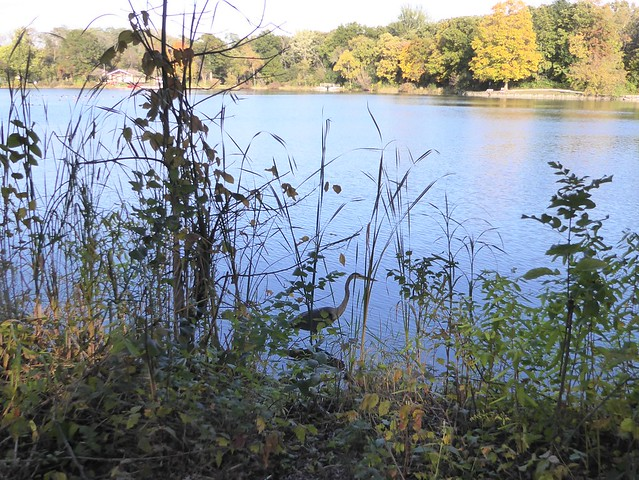 Wheaton, IL, Herrick Lake Forest Preserve, Gray Heron