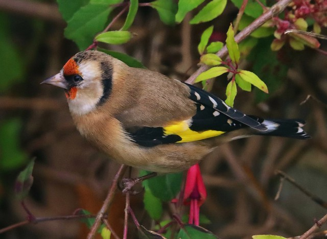 Goldfinch (Carduelis carduelis) on fuchsia