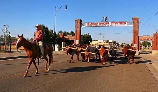 Longhorn Cattle, Oklahoma City