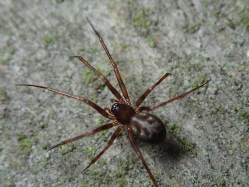 Lethyphantes sp