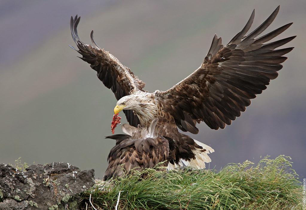 White-tailed Eagle 229