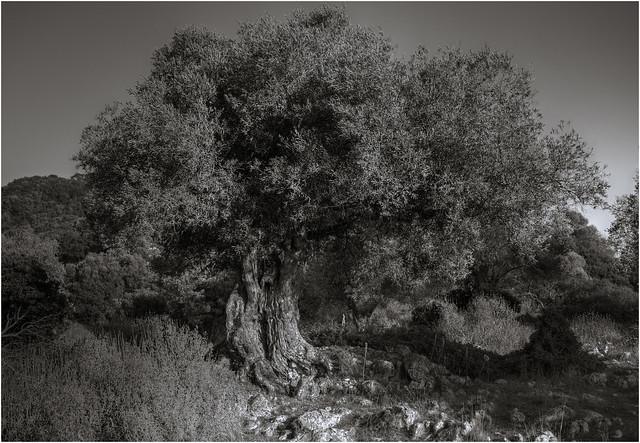 Olive Tree (3)