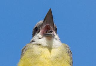 Open Wide- tropical kingbird regurgitation