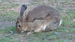 Lokrum - island walk, rabbit