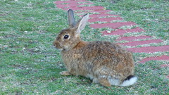 Lokrum - island walk, rabbit (2)