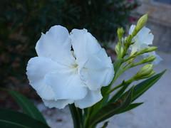 Lokrum - island walk, oleander (3)