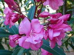 Lokrum - island walk, oleander (4)