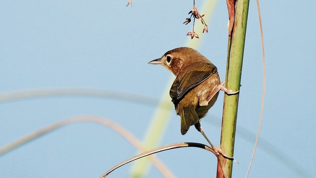 Common Yellowthroat Female (Geothlypis trichas)