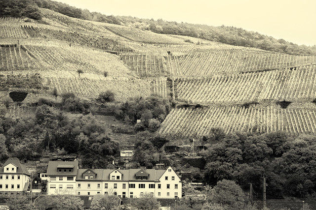 Rows of Grape Vines _8484