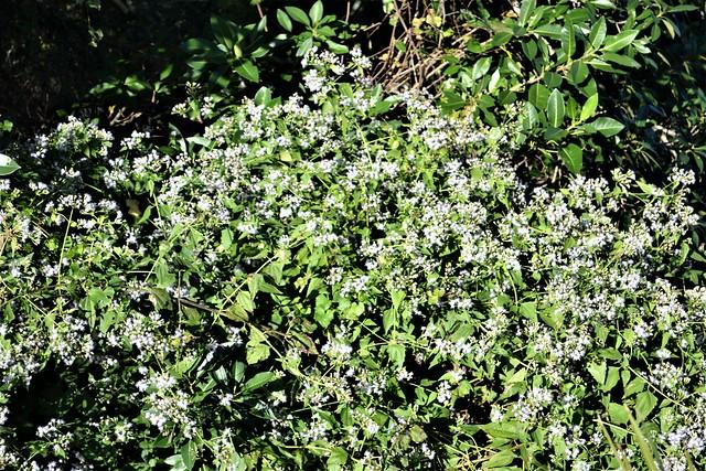 Flowering plant --  unidentified 0001 (2)