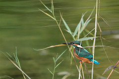 Martin-pêcheur d'Europe (Alcedo atthis) - Common Kingfisher