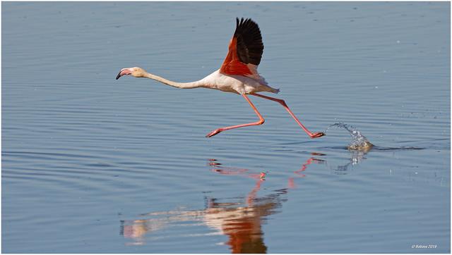 CAMARGUE - Flamingo im Abflug...
