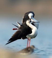 Black-winged stilt -- courtship display