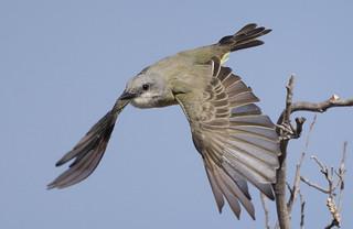 molt study in Tropical Kingbird