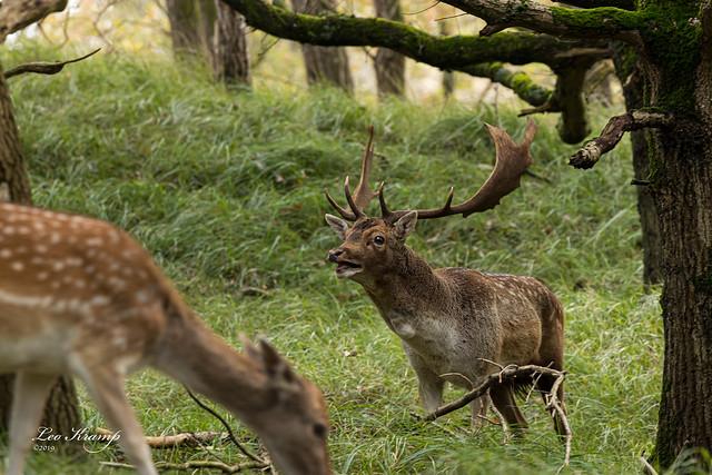 Deer | Burlend damhert