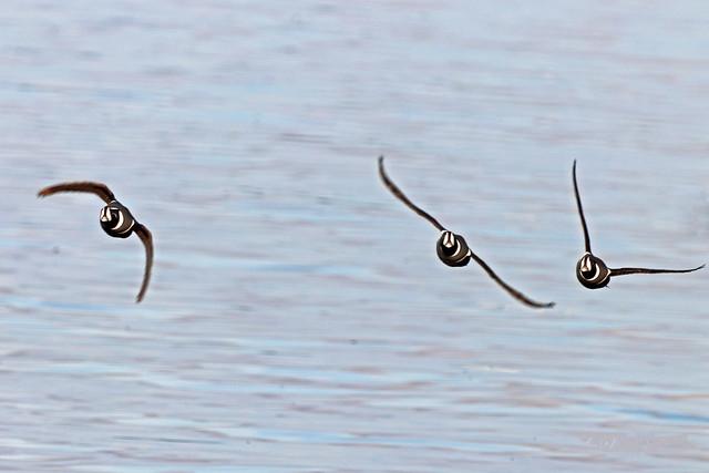 Harlequin Ducks Flying 19-1014-0505
