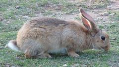Lokrum - island walk, rabbit (3)