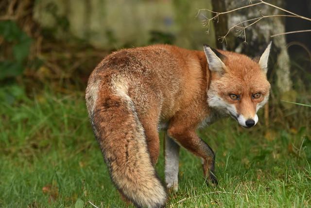 Red Fox [Vulpes vulpes]