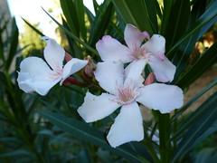 Lokrum - island walk, oleander (2)