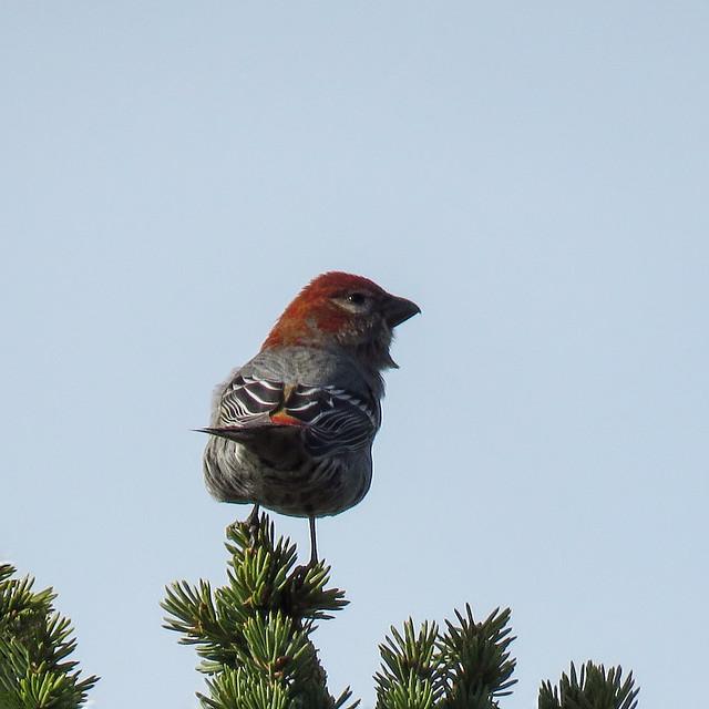 02 Pine Grosbeak
