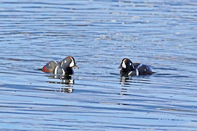 Harlequin Ducks 19-1014-0780