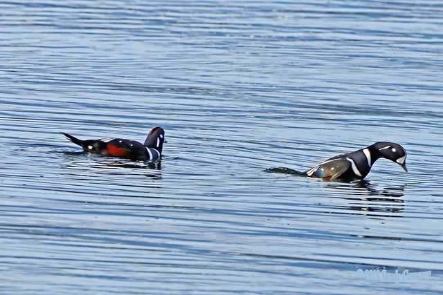 Harlequin Ducks 19-1014-0789