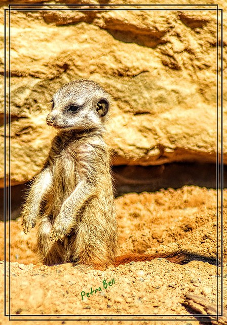 A little meerkat who would like to become a guard in a pack! 🐾🐾💖