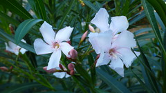 Lokrum - island walk, oleander