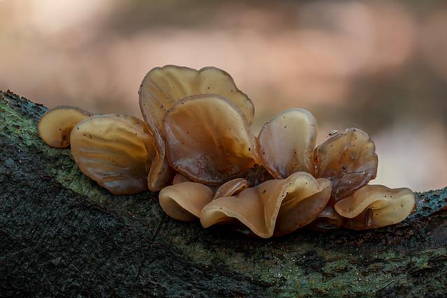 Hirneola auricula-judae