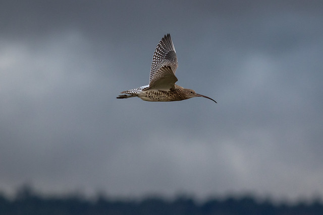 Curlew over the Causeway