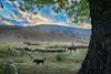 Traditional pasturage