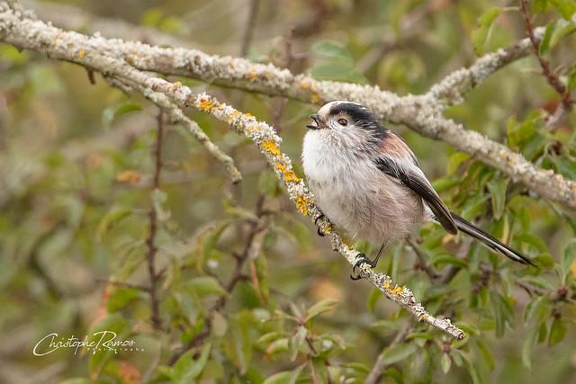 Mésange à longue queue - Aegithalos caudatus (Domaine Des Oiseaux, Ariège) 20 octobre 2019