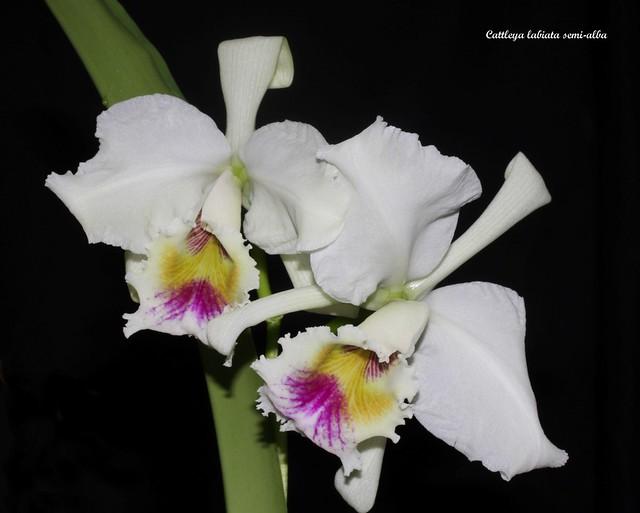 Cattleya labiata semi-alba 48930625727_7865d688fd_z