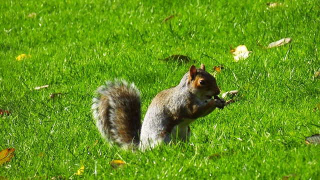 Foraging Squirrel 03